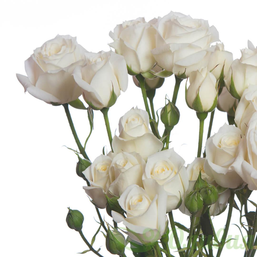 Роза Сноу Бабл 1