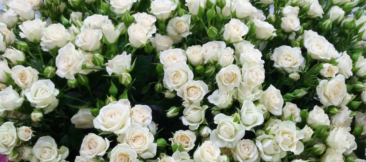 Роза Сноуфлейк 1