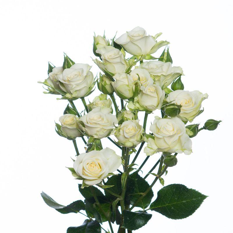 Роза Сноуфлейк 2