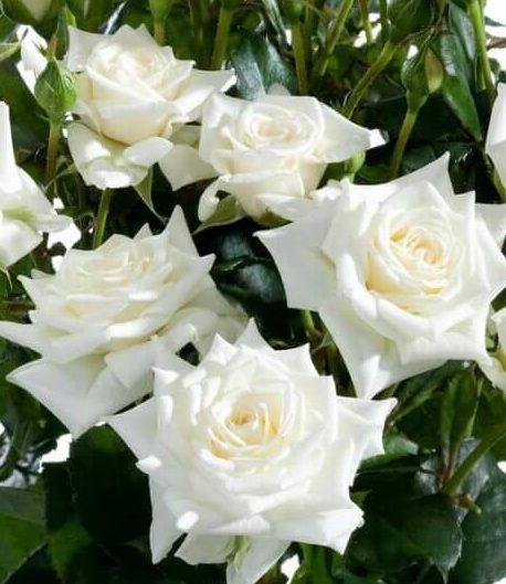 Роза Сноуфлейк 3
