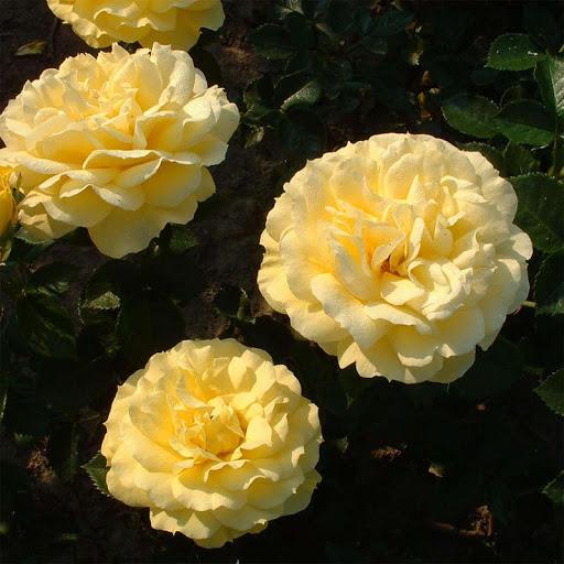 Роза Софи Ренессанс 1