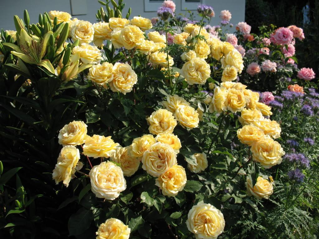 Роза Софи Ренессанс 2