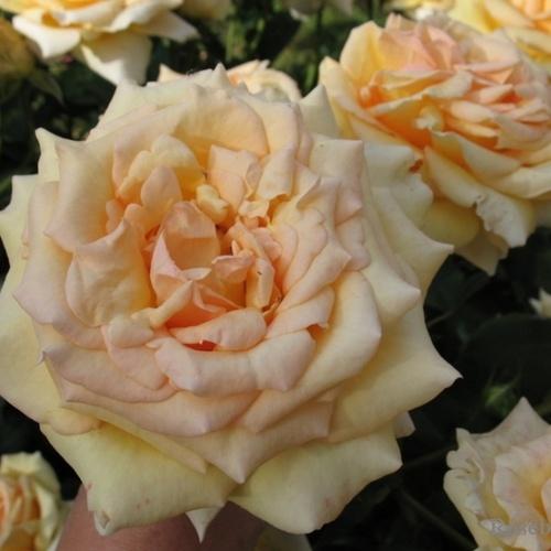 Роза Софи Ренессанс 3