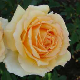 Роза Софи Ренессанс 4