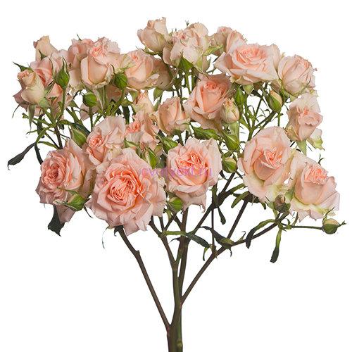 Роза Свит Сара 4