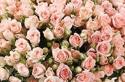Роза Свит Сара 3