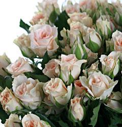 Роза Свит Сара 2