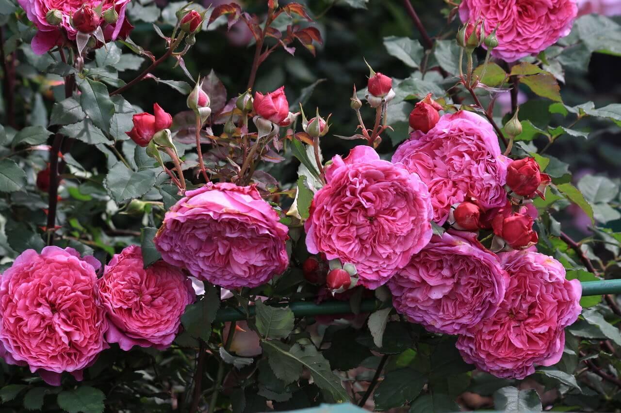 Роза Вентило 1