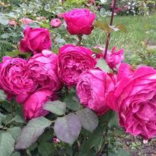 Роза Вентило 2
