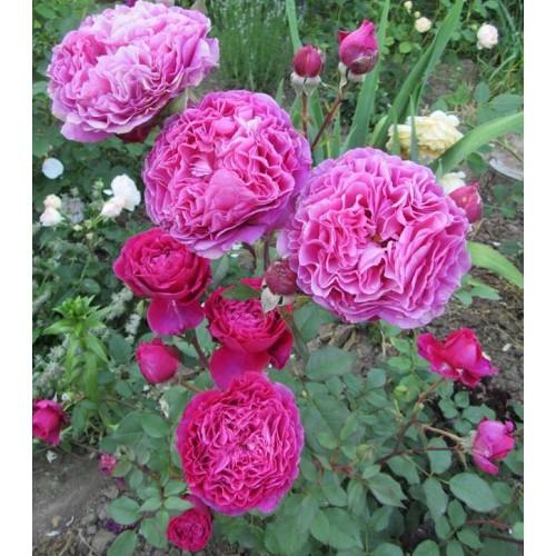 Роза Вентило 3