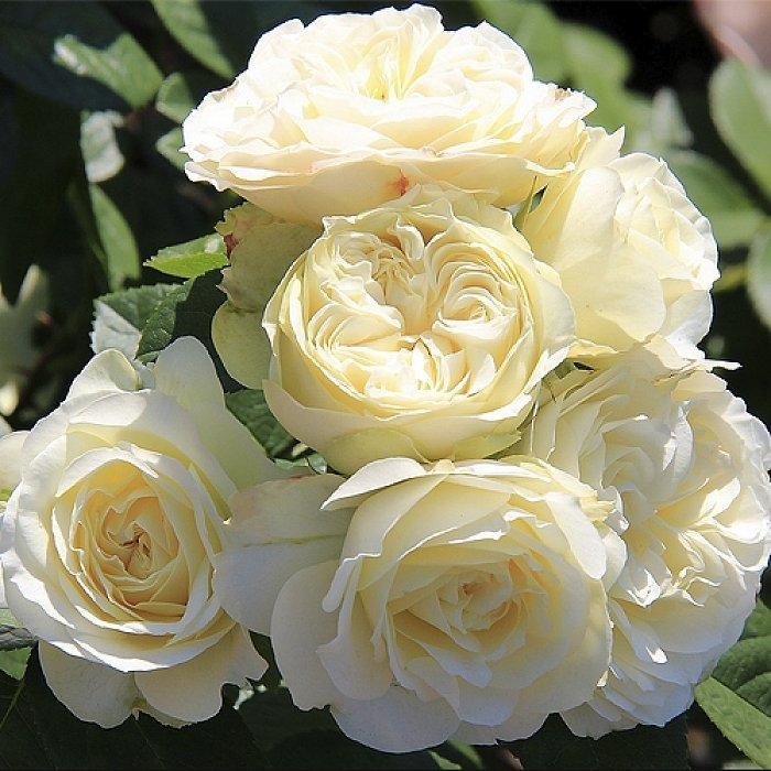 Роза Винтер Лодж 1