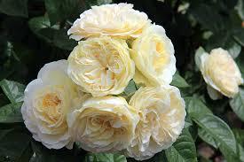 Роза Винтер Лодж 3