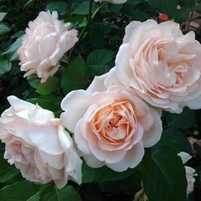 Роза Хелена Ренессанс 1