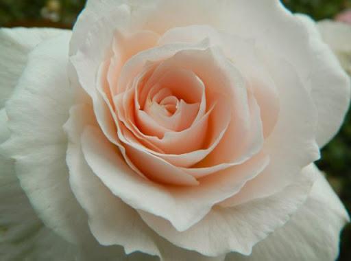 Роза Хелена Ренессанс 2