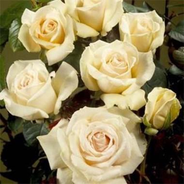 Роза Хелена Ренессанс 3