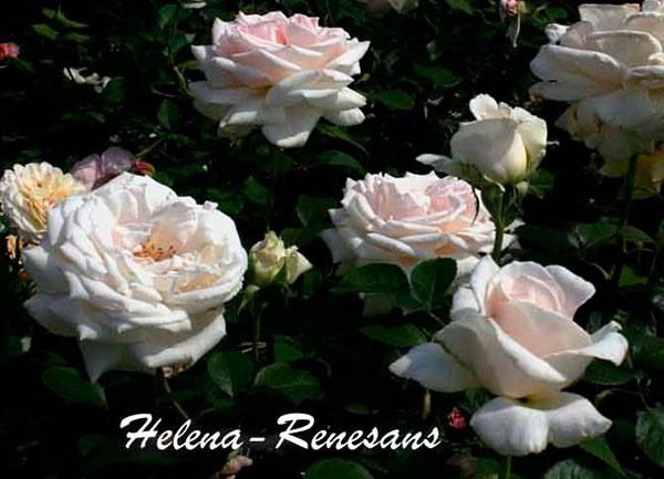 Роза Хелена Ренессанс 4