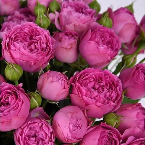 Роза Хот Пинк Лейс изображение 3