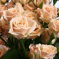 Роза Яна 2