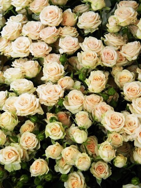 Роза Яна 4