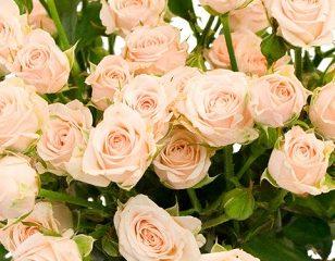 Роза Яна 3