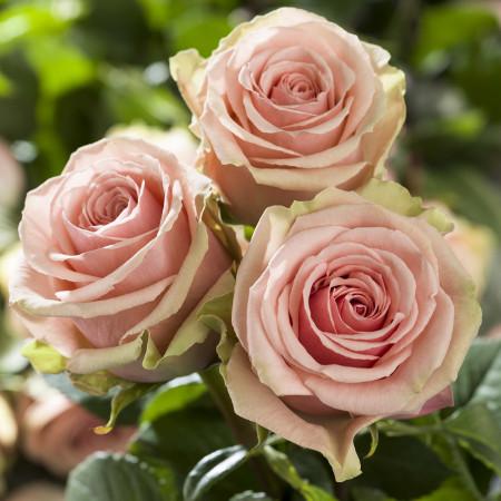 Роза Жеральдин 1