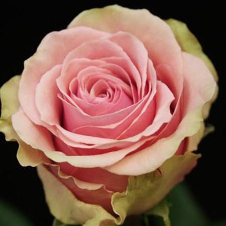 Роза Жеральдин 2