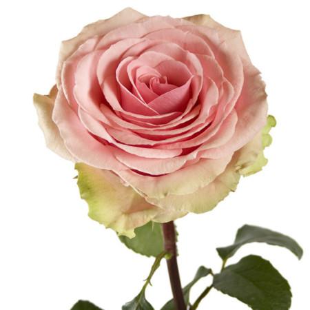 Роза Жеральдин 3
