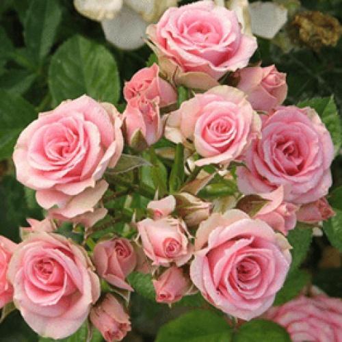Роза Жеральдин 4
