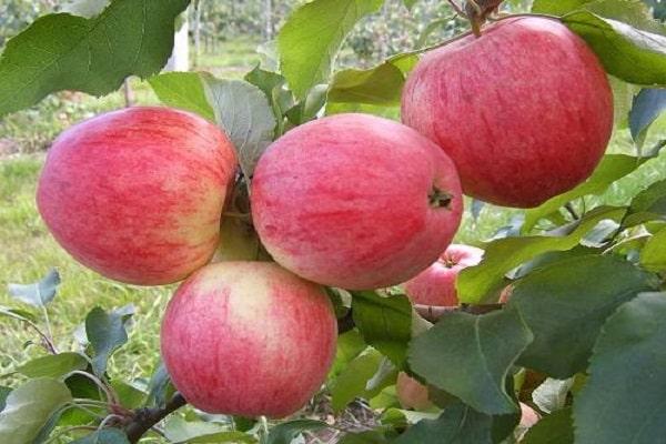 Яблоня «Аленушкино» 2