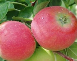 Яблоня «Аленушкино»