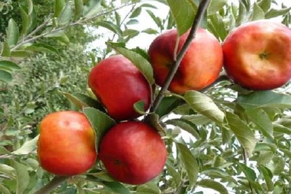 Яблоня «Аленушкино» 3