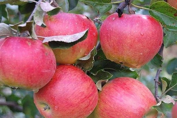 Яблоня «Аленушкино» 4