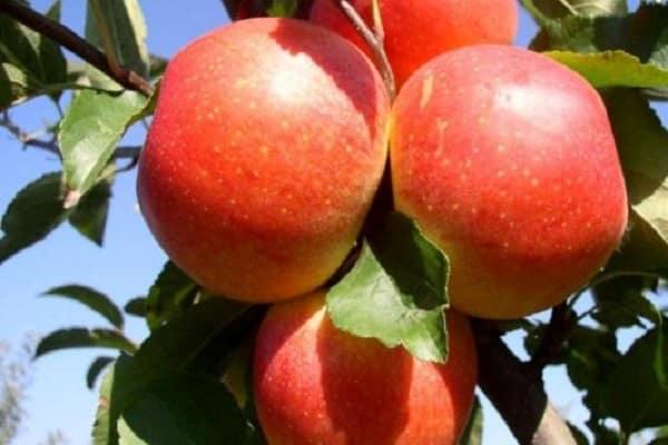 Яблоня «Аленушкино» 5