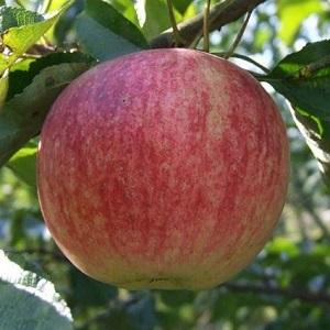 Яблоня Боровинка 1