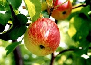 Яблоня Боровинка 3
