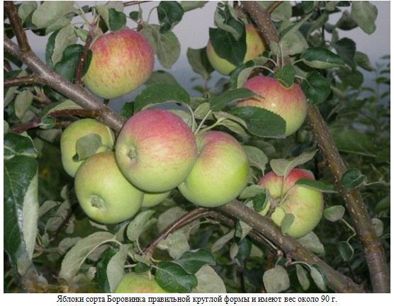 Яблоня Боровинка 2