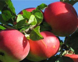 Яблоня Добрыня