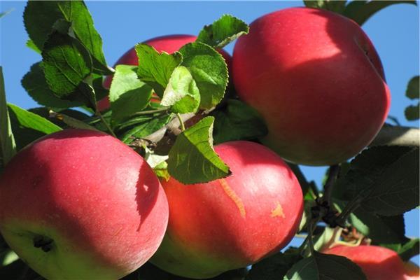 Яблоня Добрыня 1