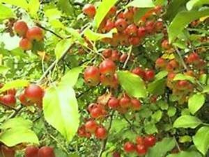 Яблоня Добрыня 5