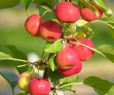 Яблоня Добрыня 3