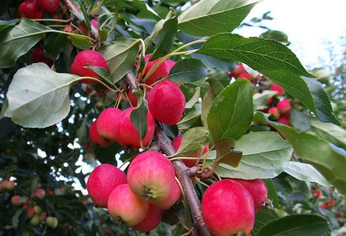 Яблоня Добрыня 2