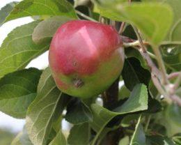 Яблоня Кубань спур