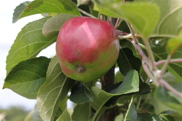 Яблоня Кубань спур 1