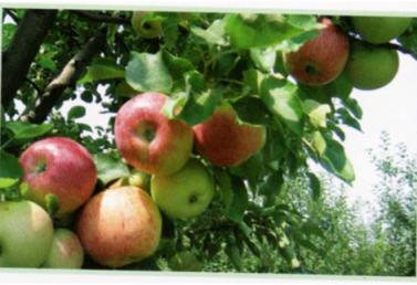 Яблоня Кубань спур 2
