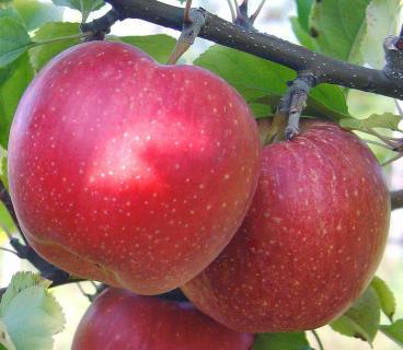 Яблоня Малиновый Делишес 1