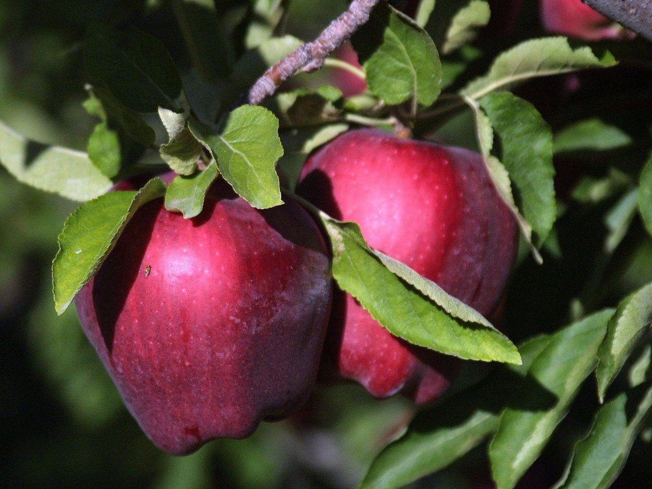 Яблоня Малиновый Делишес 4