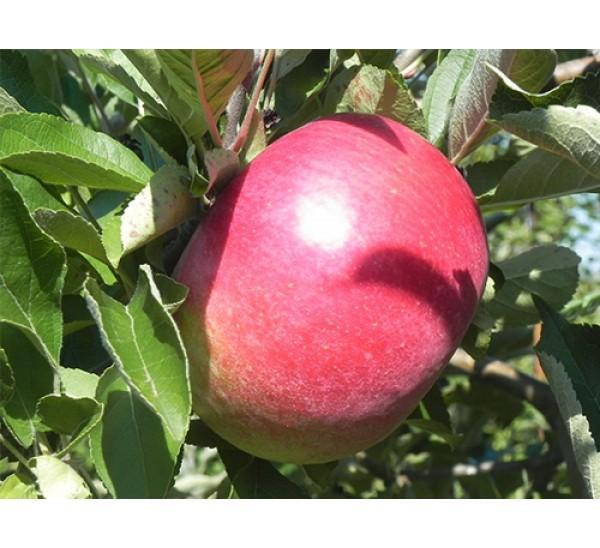 Яблоня Малиновый Делишес 3