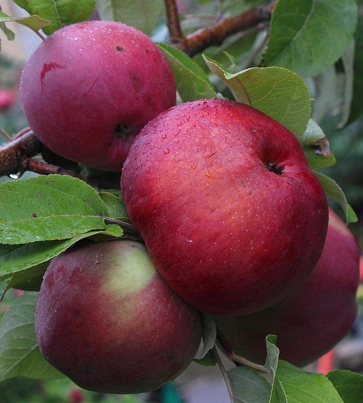 Яблоня Малиновый Делишес 2