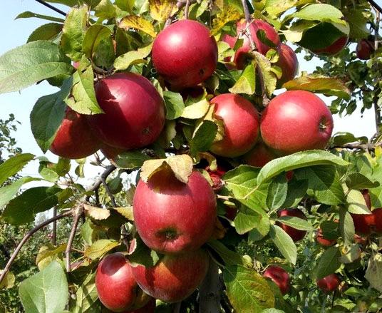 Яблоня Поспех изображение 4