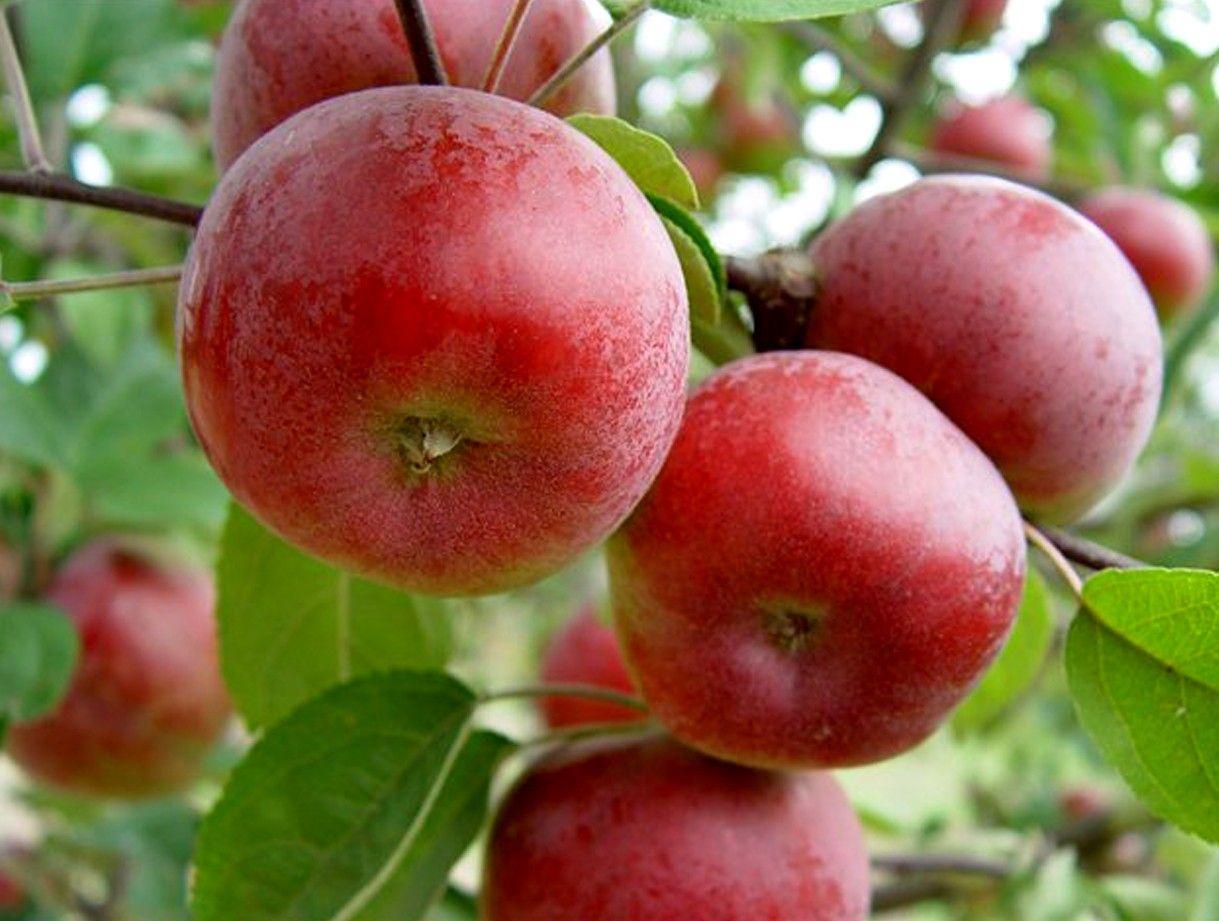 Яблоня Поспех изображение 1